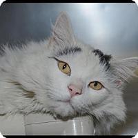 Adopt A Pet :: Snowball - Brick, NJ