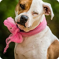 Pit Bull Terrier Mix Dog for adoption in Newcastle, Oklahoma - Vixen