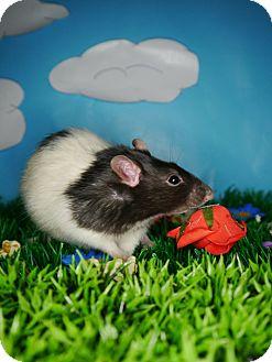 Rat for adoption in Welland, Ontario - Connor