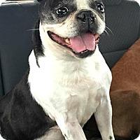 Adopt A Pet :: Bea- Adoption Pending - Greensboro, NC