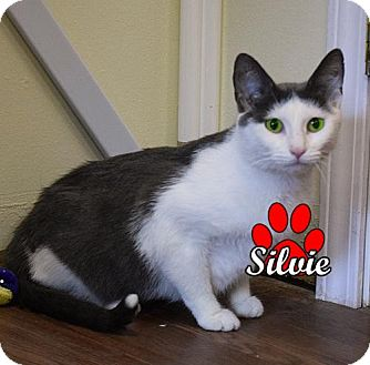 Domestic Shorthair Cat for adoption in Canastota, New York - Silvie
