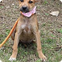 Adopt A Pet :: Venus - Lacey, WA