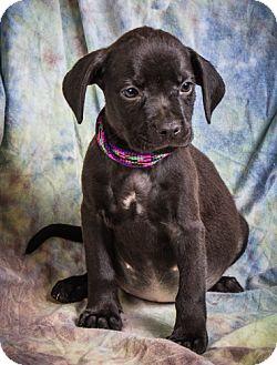 Labrador Retriever/Boxer Mix Puppy for adoption in Anna, Illinois - HALSEY