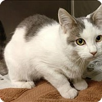 Domestic Shorthair Cat for adoption in Atlantic City, New Jersey - Darryl