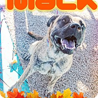 Mastiff Mix Dog for adoption in Odessa, Texas - Mack