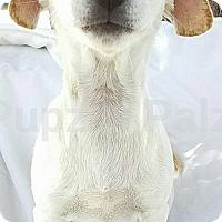 Adopt A Pet :: Spunk - Modesto, CA
