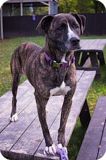 Boxer/Labrador Retriever Mix Dog for adoption in Fairfax, Virginia - Tessa