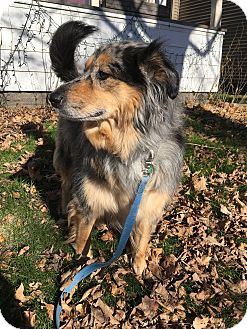 Australian Shepherd/Collie Mix Dog for adoption in Minneapolis, Minnesota - Roxy