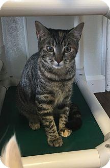 Domestic Shorthair Kitten for adoption in Greensburg, Pennsylvania - Skylar