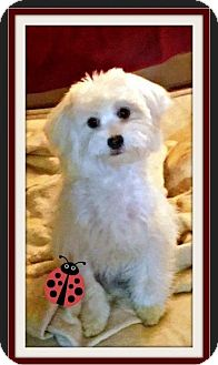 Maltese Puppy for adoption in Rancho Cucamonga, California - Jimi