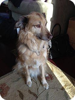 Australian Shepherd/Collie Mix Dog for adoption in Alexandria, Virginia - Phoenix