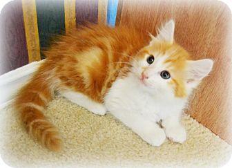 Domestic Longhair Kitten for adoption in Arlington/Ft Worth, Texas - Oscar