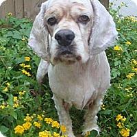 Adopt A Pet :: Andy - Sugarland, TX