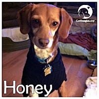 Adopt A Pet :: Honey - Novi, MI