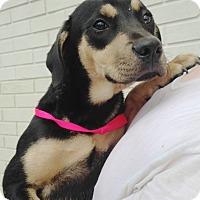 Adopt A Pet :: BLACK AND TAN GIRL - Pompton lakes, NJ