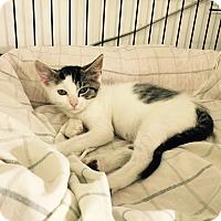 Adopt A Pet :: Desiree - Speonk, NY