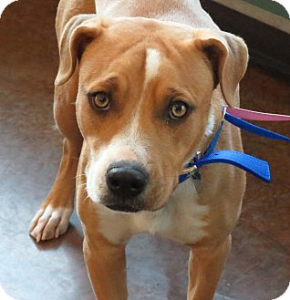 Boxer/Beagle Mix Dog for adoption in Scottsdale, Arizona ...