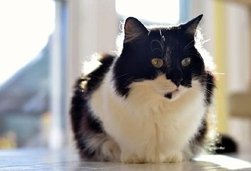 Domestic Mediumhair Cat for adoption in Chicago, Illinois - Frost