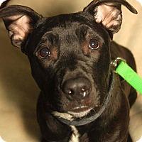 Adopt A Pet :: Rocko - Detroit, MI