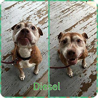 American Staffordshire Terrier Mix Dog for adoption in bridgeport, Connecticut - Diesel