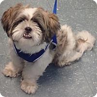 Adopt A Pet :: Peluche - Orlando, FL