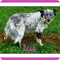 Adopt A Pet :: Echo - Oswego, IL