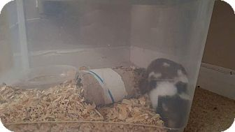Hamster for adoption in New Baltimore, Michigan - Mr. Hamster