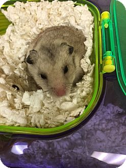 Hamster for adoption in Virginia Beach, Virginia - 1609-0556 Chubby  Cheeker