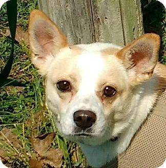Chihuahua/Basenji Mix Dog for adoption in Aurora, Illinois - Lady