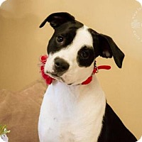 Boxer Mix Dog for adoption in greenville, South Carolina - Bella