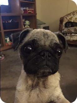 Pug Dog for adoption in Grapevine, Texas - Hallie