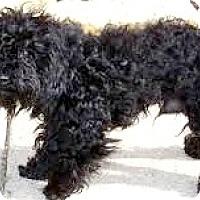 Adopt A Pet :: Tango-ADOPTION PENDING - Boulder, CO