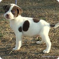 Australian Shepherd/Labrador Retriever Mix Puppy for adoption in parissipany, New Jersey - ELLIOT/ADOPTED