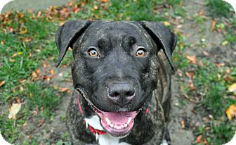 Pit Bull Terrier Dog for adoption in Boston, Massachusetts - BRANDY