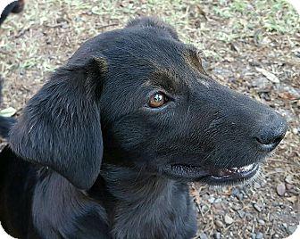 Labrador Retriever Mix Puppy for adoption in Albany, New York - Bonnie