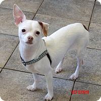 Adopt A Pet :: Marley(8 lb) A Sweetheart! - Burlington, VT