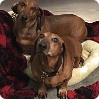 Adopt A Pet :: Ginger (bonded w Sammy) - Aurora, CO