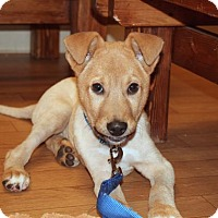 Adopt A Pet :: Comet - Woodstock, IL