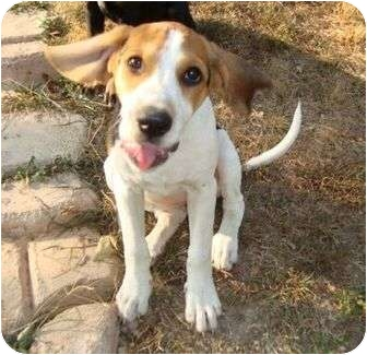 Treeing Walker Coonhound/Beagle Mix Puppy for adoption in Allentown, Pennsylvania - Daisy Loo