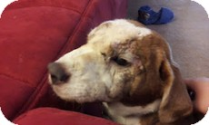 Beagle/Shar Pei Mix Dog for adoption in Wilmington, Massachusetts - Rusty