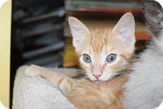 Domestic Shorthair Kitten for adoption in Richmond, Virginia - Butternut