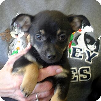 Chihuahua/Pomeranian Mix Puppy for adoption in baltimore, Maryland - Blinkin
