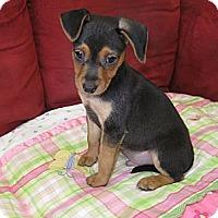 Adopt A Pet :: Marshmellow - Tumwater, WA