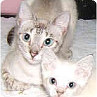 Adopt A Pet :: Lily - Dallas, TX