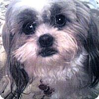 Adopt A Pet :: Snuggles - Duluth, GA