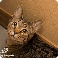 Adopt A Pet :: Gracie - Fountain Hills, AZ