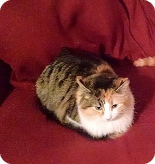 Calico Cat for adoption in Muskegon, Michigan - Sunshine
