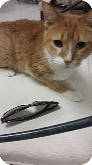 American Shorthair Cat for adoption in Chicago, Illinois - Jay