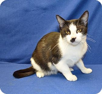 American Shorthair Cat for adoption in New Iberia, Louisiana - NOEL
