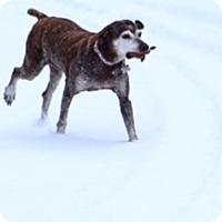 German Shorthaired Pointer Dog for adoption in Menlo Park, California - Danica